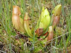 Purple Pitcher Plant (Sarracenia purpurea) is a carnivorous plant found in bogs (Wikipedia)