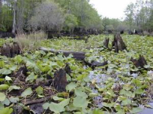 Swamp, marsh or bog?