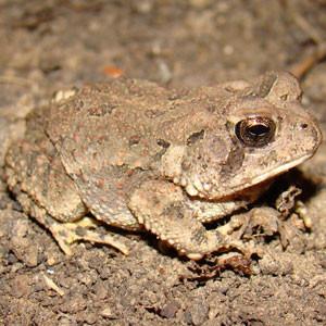 Fowler's toad (Anaxyrus fowleri)  Photo: Brad Glorioso, USGS