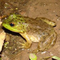American bullfrog (Lithobates catesbeianus) The largest frog in North America. Reaches a length of 8 inches.