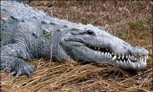 American Crocodile (Nat Park Svc)