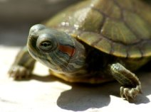 Red Eared Slider (Photo: Oregon Dept of F&W)