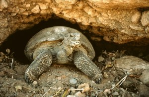 A desert tortoise emerges from its burrow. Arizona Game and Fish Department photo.