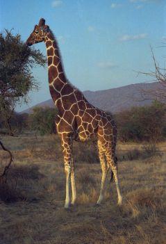 Reticulated Giraffe (Wikipedia)
