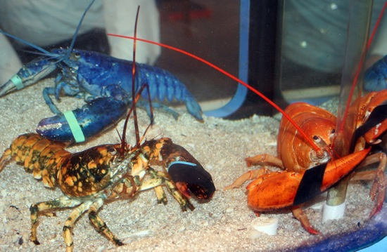 Blue, calico and red lobsters.  (Photo: Maritime Aquarium at Norwalk)
