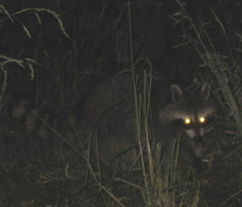 """Raccoon red eye"" by w:User:Bowlhover - English Wikipedia. Licensed under Public domain via Wikimedia Commons - http://commons.wikimedia.org/wiki/File:Raccoon_red_eye.JPG#mediaviewer/File:Raccoon_red_eye.JPG"