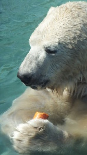 According to some scientists, polar bears are as intelligent as apes. Polar bear at Toronto Zoo. Photo mine.