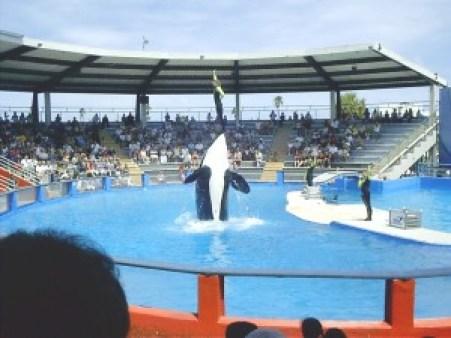 Orca at Miami Seaquarium photo by Marc Averette. CC by 3.0