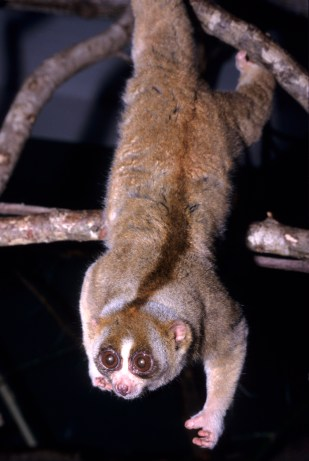 Could the slow loris, with its noxious bite be the dark horse this year? (Photo David Haring / Duke Lemur Center  CC BY-SA 3.0)