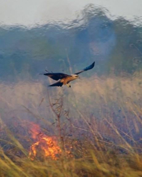 A black kite flies near a wildfire in Northern Australia. Photo: Bob Gosford / media handout