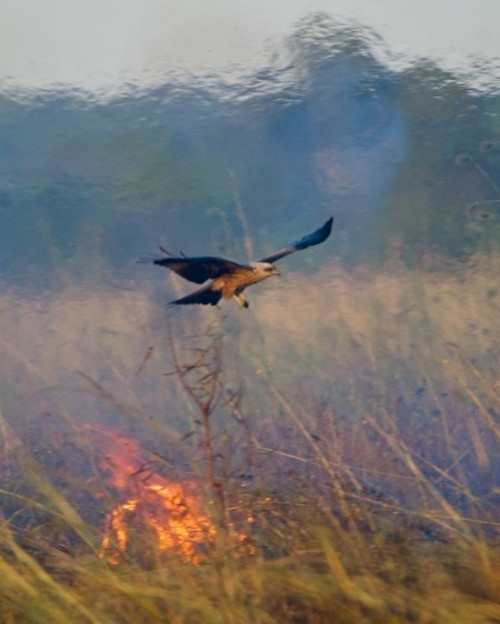 About Those Birds Starting Fires in Australia