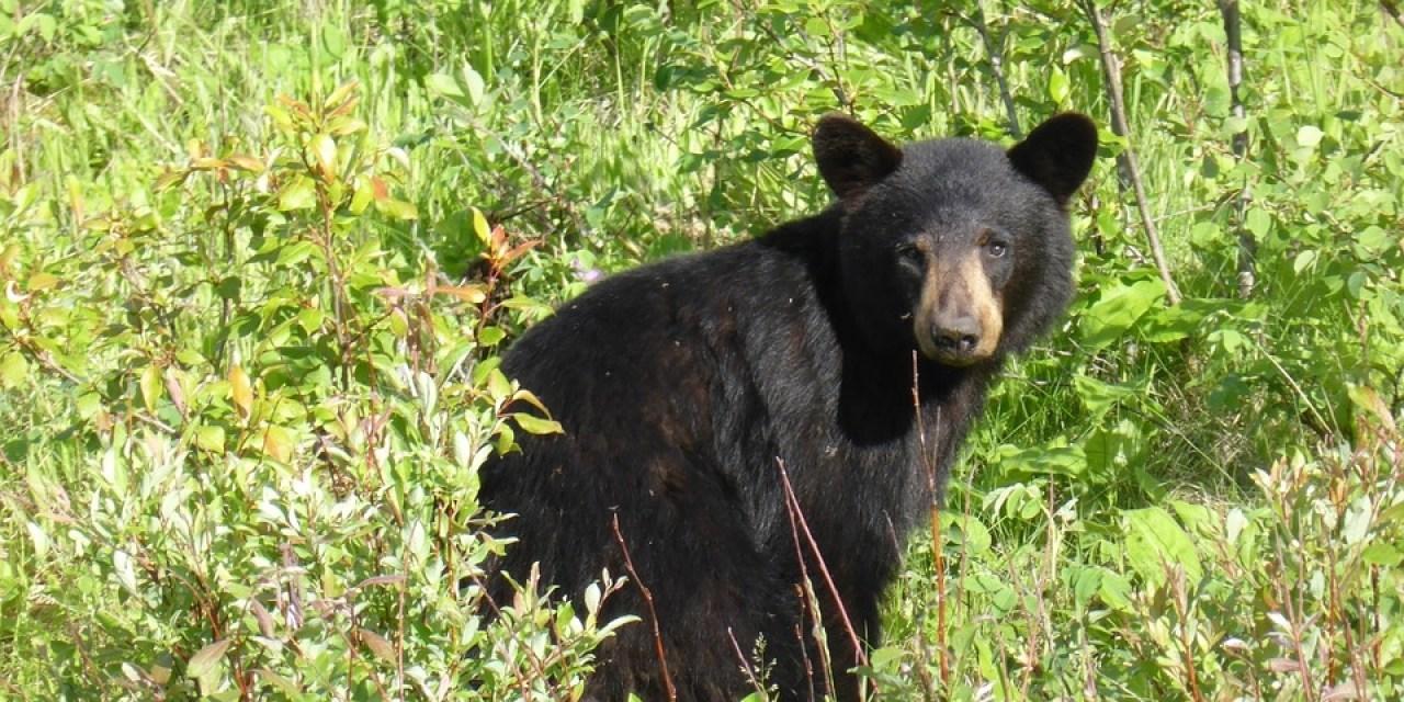 """Published! """"The Imagined Bear"""" in Zoomorphic Magazine"""