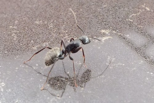 carpenter ant on the kitchen counter