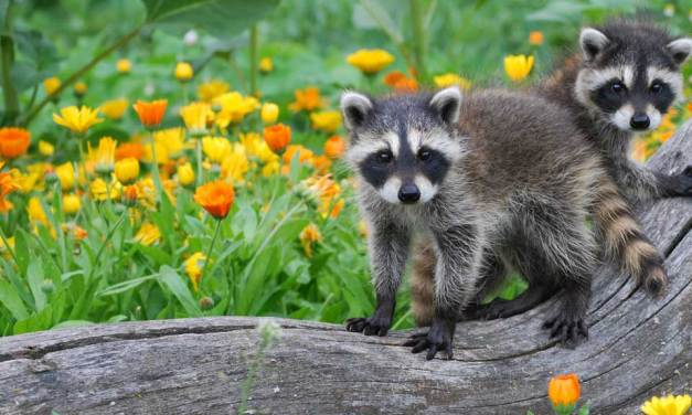 Wednesday Wildlife: Those Rascally Raccoons