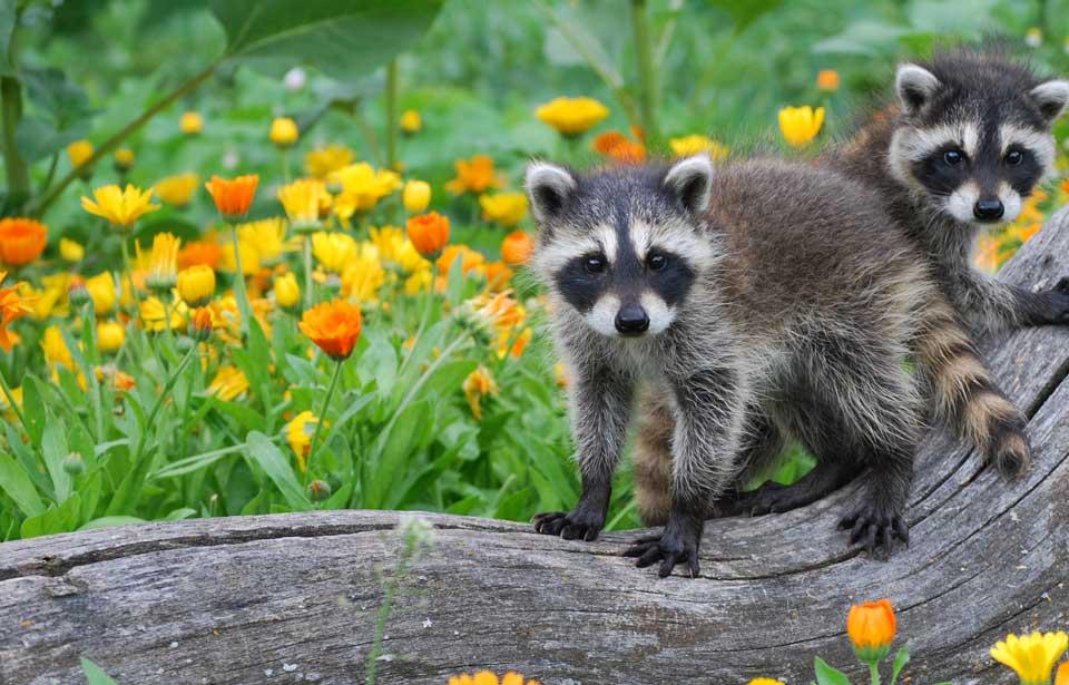 Wednesday Wildlife: Those Rascally Raccoons