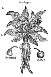 "The so-called ""female"" and ""male"" mandrakes, from a 1583 illustration"