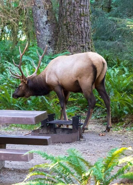 elk invade the campsite google image