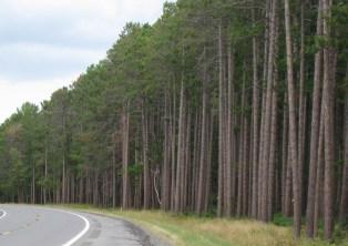 pine-trees