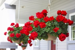 red_geraniums_hanging_basket_porch