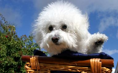bichon-frise-puppies