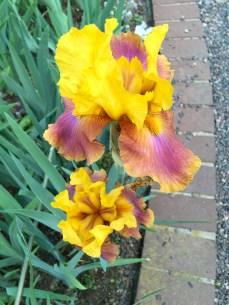 Awesome Iris