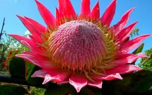 Cactus-Flower-Wallpaper-Nature-HD
