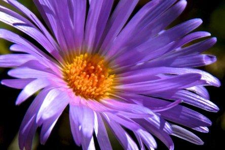 purple-desert-flower