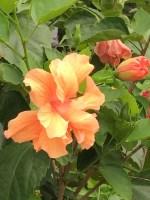 flower orange iris