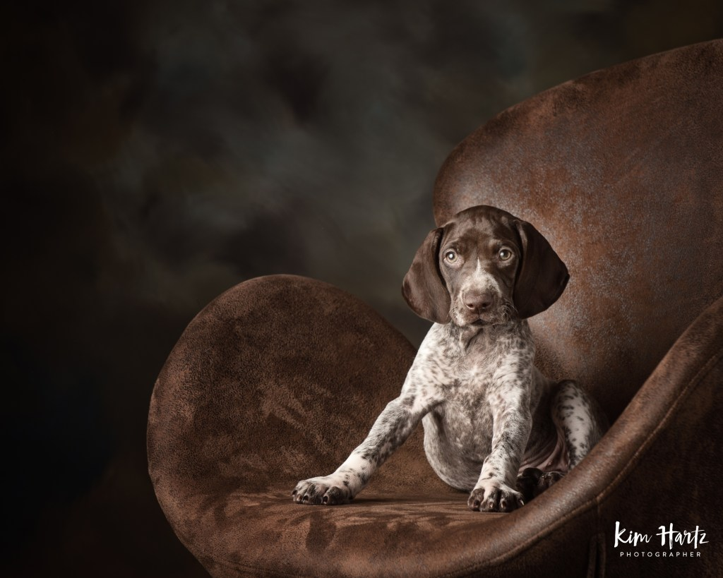 german short haired pointer, gsp, houston pet photographer