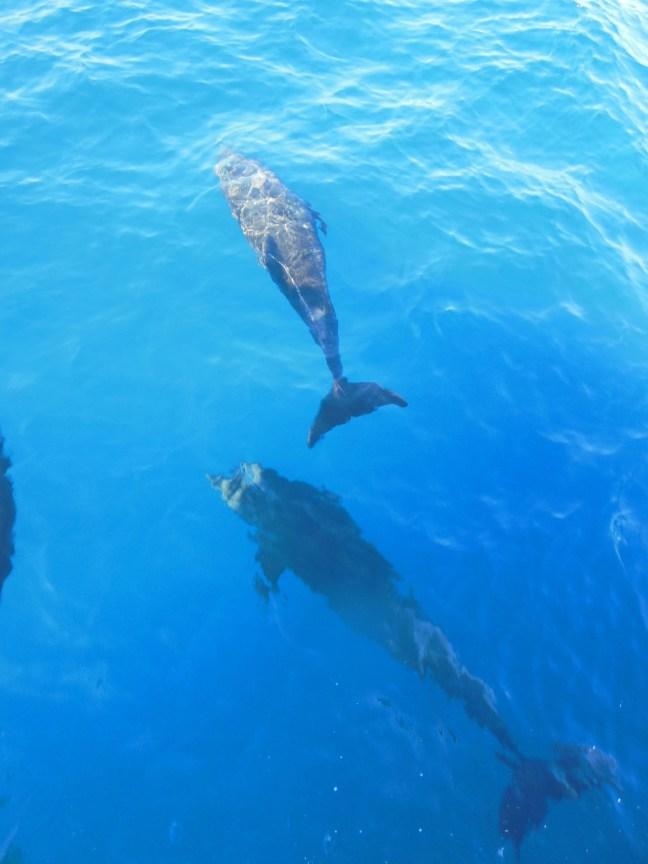 Dolfijnen zwemmen mee met de boot.