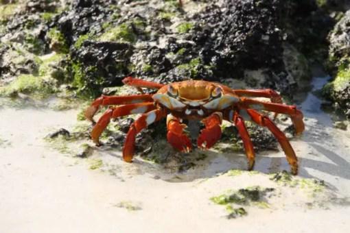 Een Sally Light Foot Crab op de Galapagos eilanden.