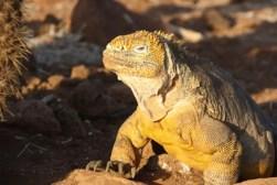 Een zonnende land iguana op de Galapagos eilanden.