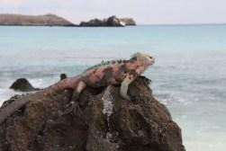 Marine iguana aan het chillen op een rots.