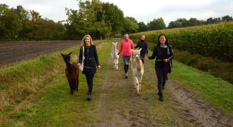 Wandelen met alpaca's in Drenthe