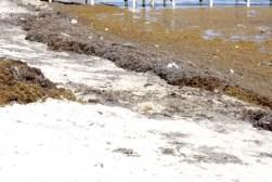 Zeewier op het strand op Ambergris Caye