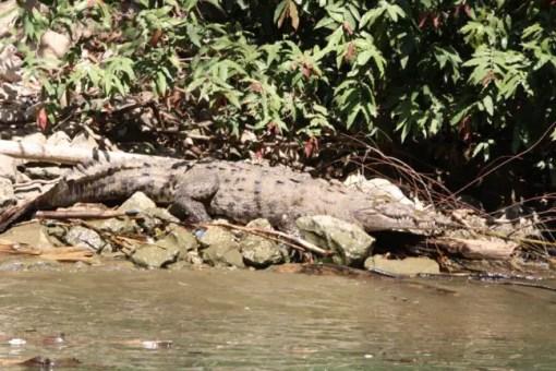 Een krokodil bij Caño de Sumidero.