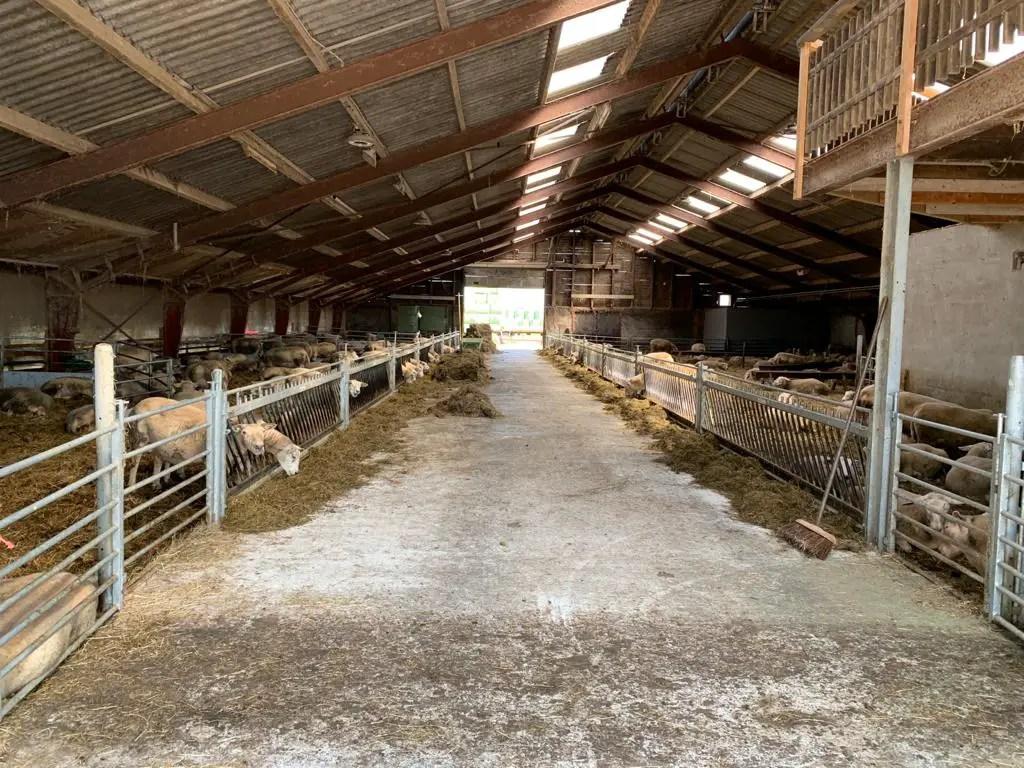 Schapenstal Kaasboerderij Wezenspyk: doorkijkje in de stal met aan beide kanten schapen