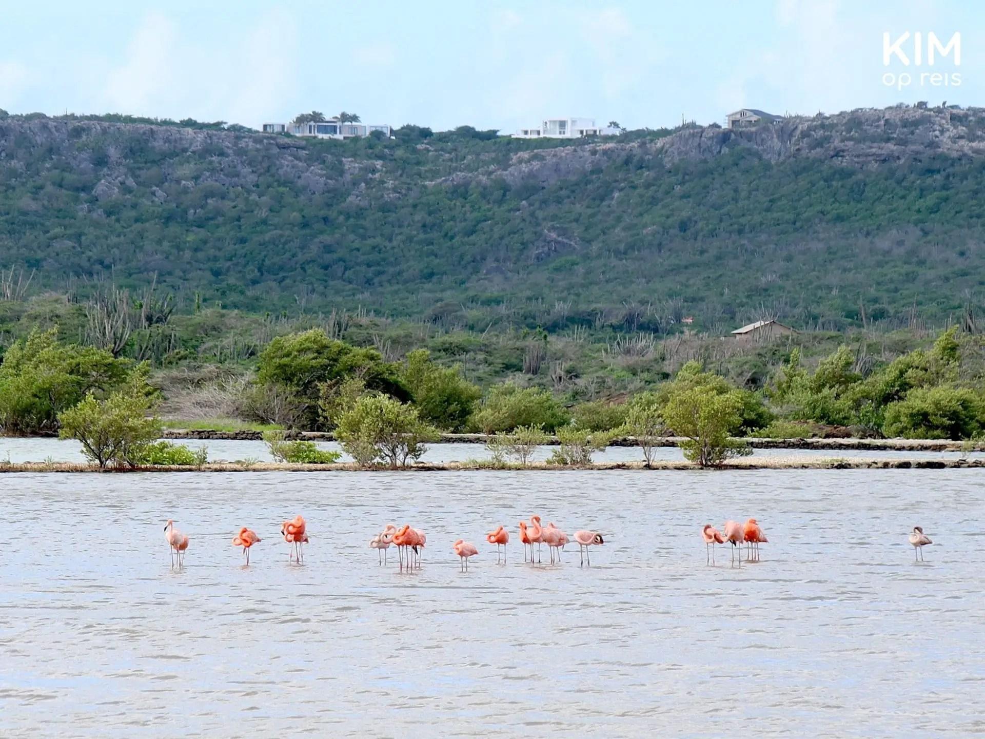 Flamingos Curaçao salt pans