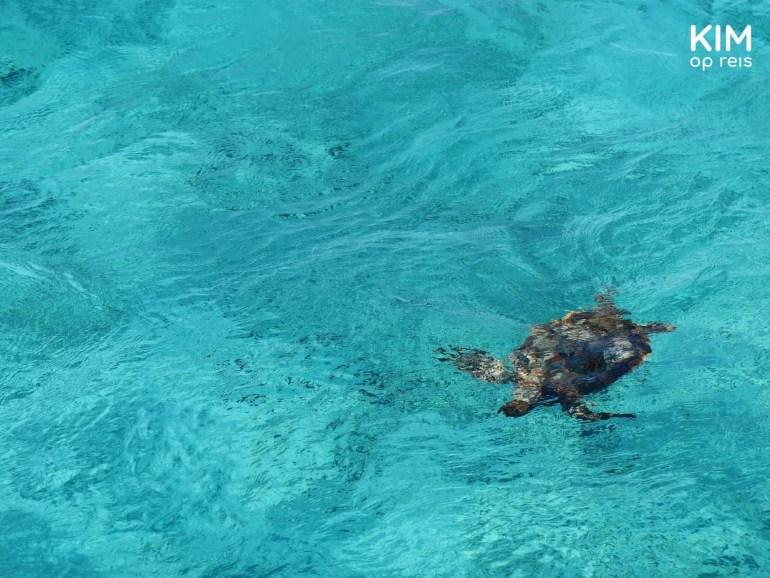Schildpad vanaf de boot Klein Curaçao: schildpad zwemt in het helderblauwe water, van bovenaf gezien