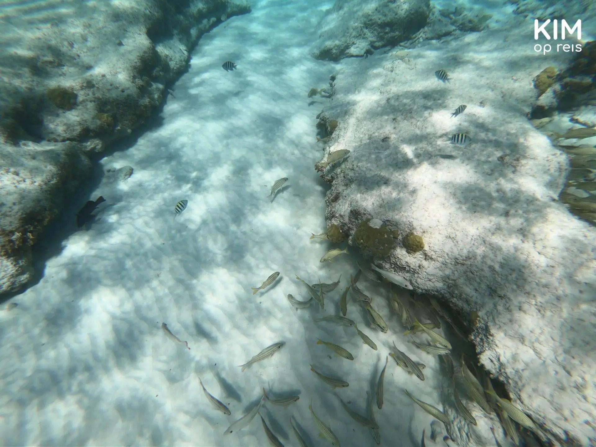 Snorkeling Klein Curaçao: fish swim near a rock, along the sand, no coral