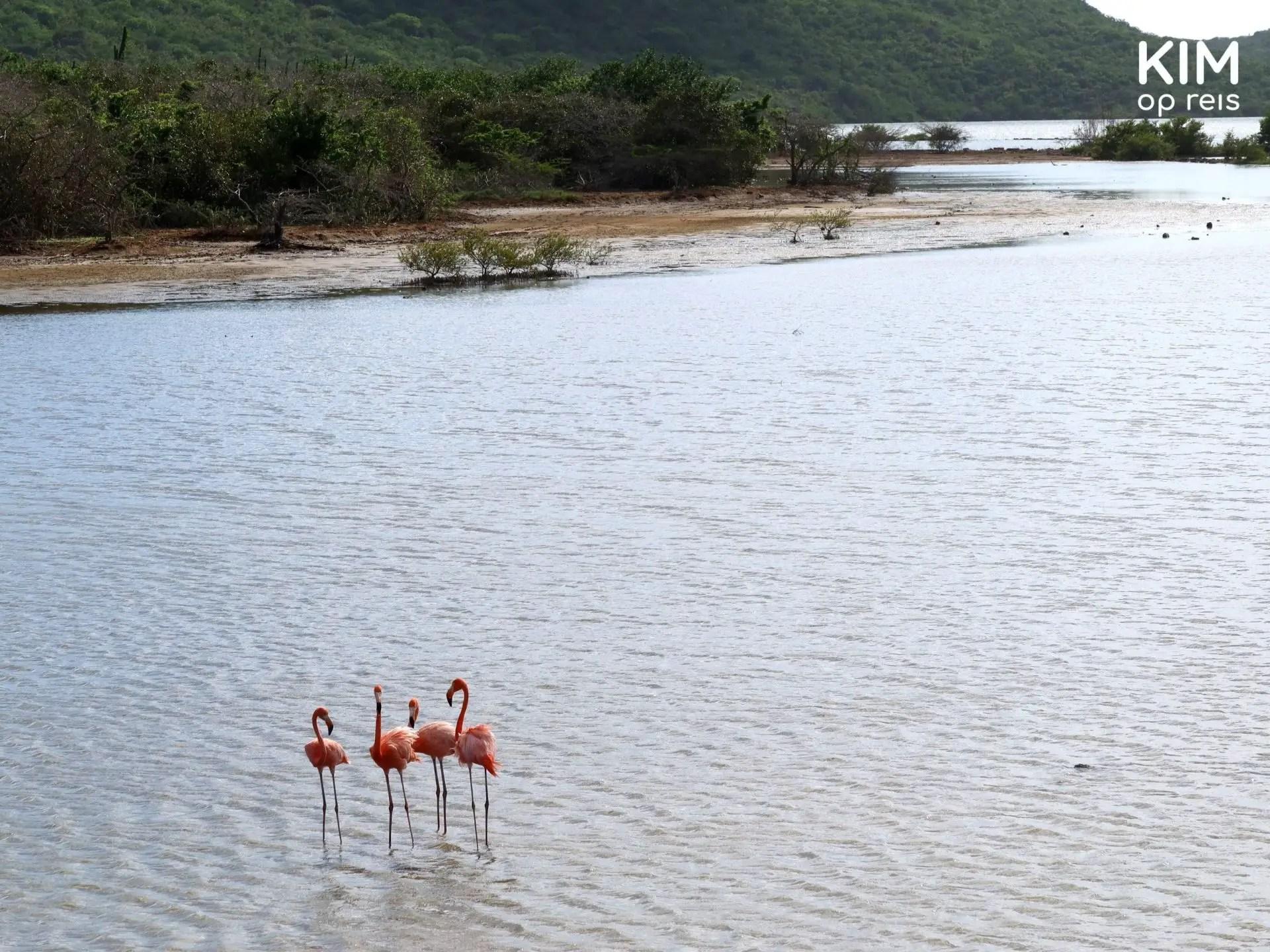 group of flamingos  Curaçao: four flamingos on the salt pans
