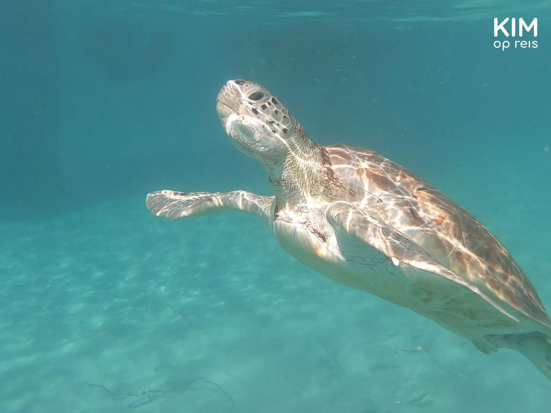 snorkelen met schildpadden Curaçao: schildpad zwemt omhoog om lucht te gaan halen