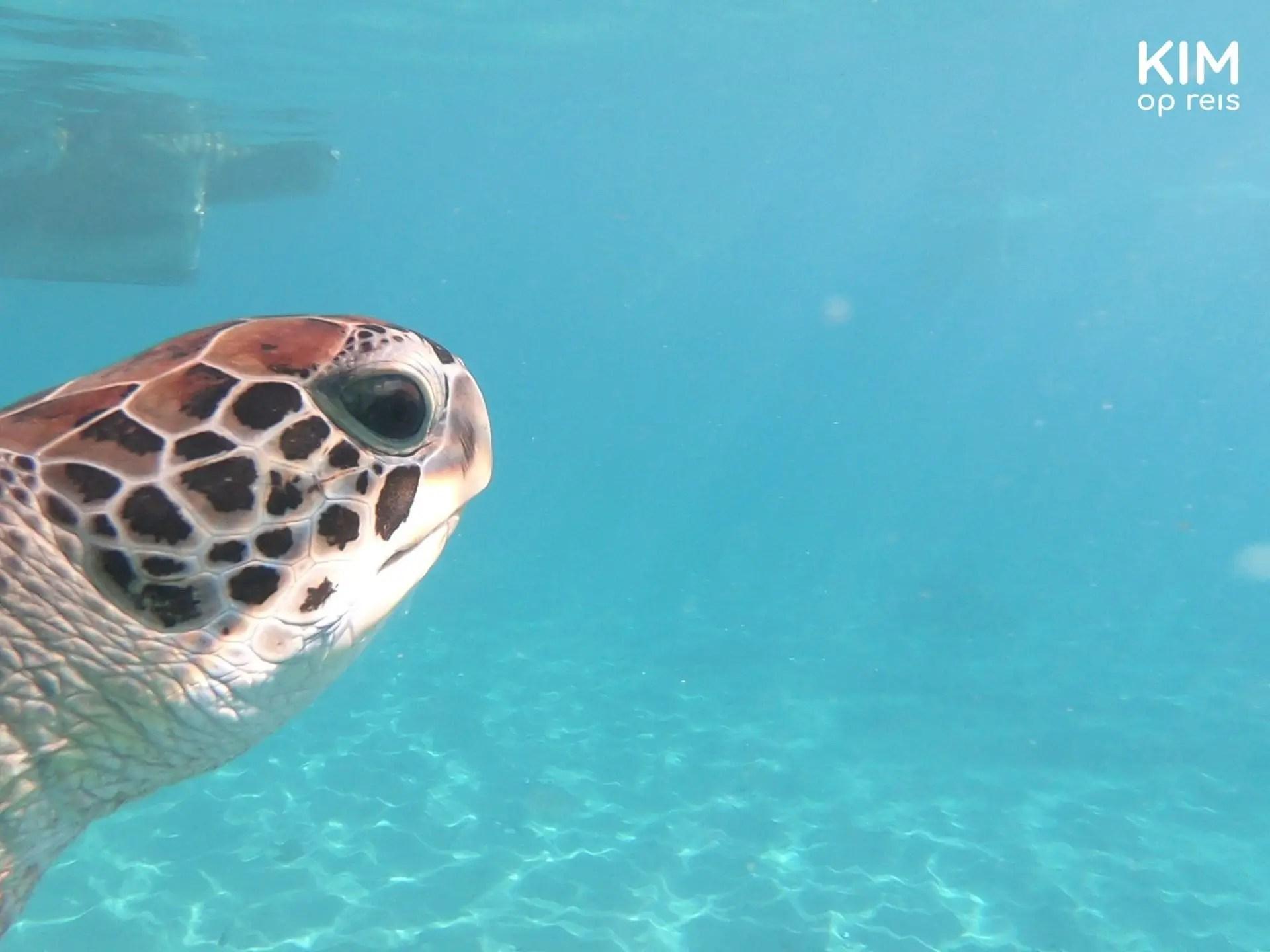 zwemmen met schildpadden Curaçao: hoofd van een schildpad duikt links in beeld op