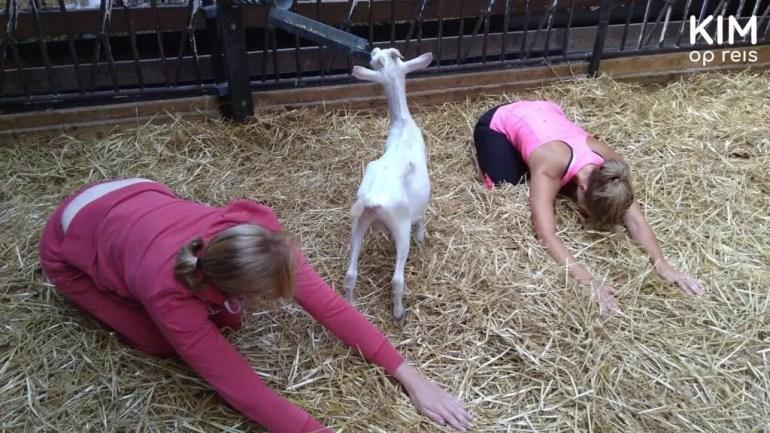 Child's pose in de geitenstal inclusief de geit