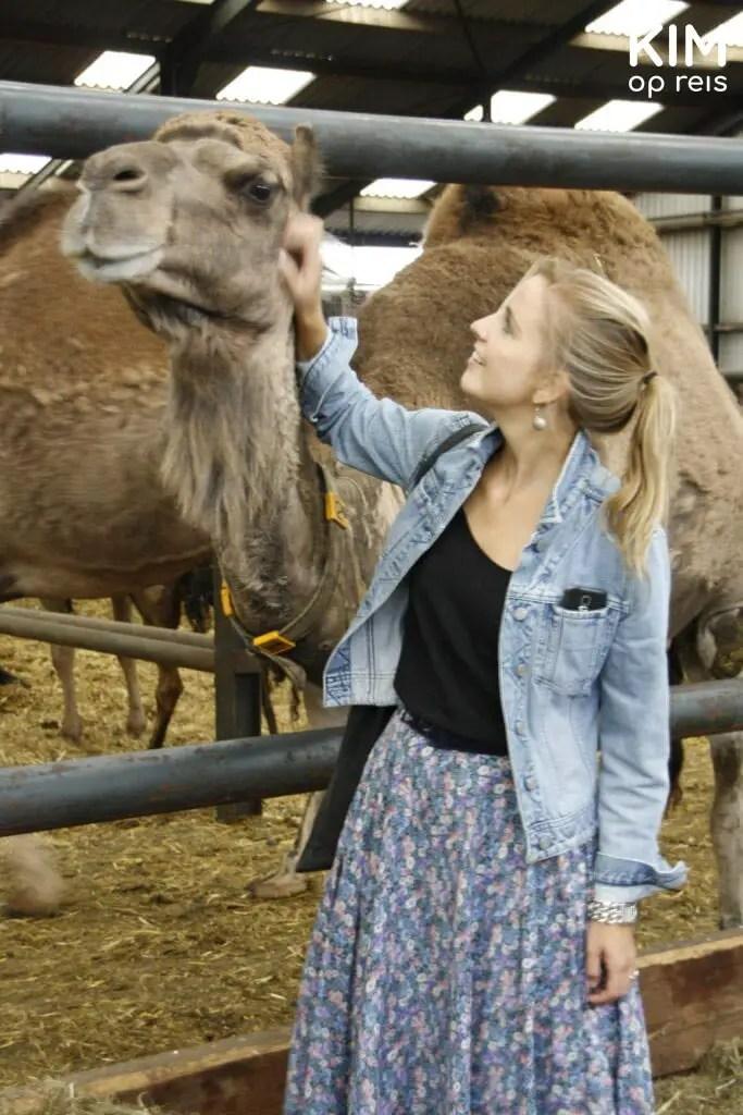 Kamelensafari Uitje Nederland : Kim samen met een kameel