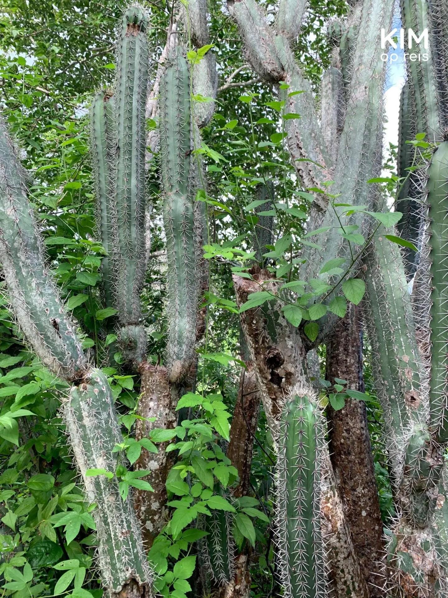 cactussen Christoffelpark Curaçao