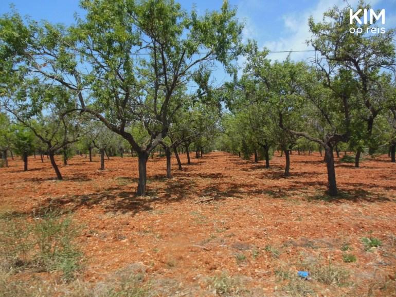 Roodgekleurd landschap van Ibiza - rode grond met olijfbomen