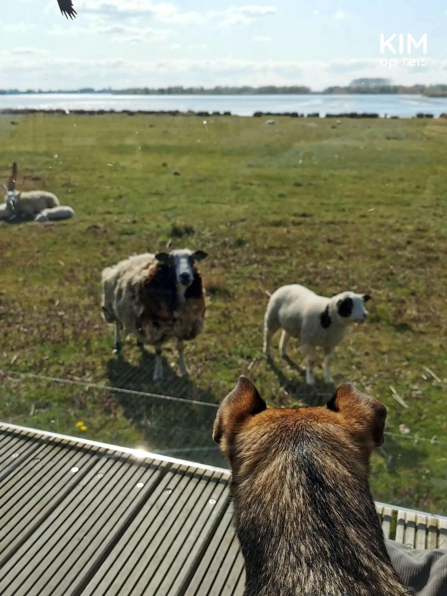 Schapen Biesbosch verblijf: hond kijkt door het glas naar de schapen in de wei