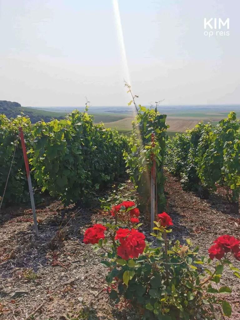 Wijngaard Champagnestreek Montgueux: wijntakken met daarvoor een struik rode rozen