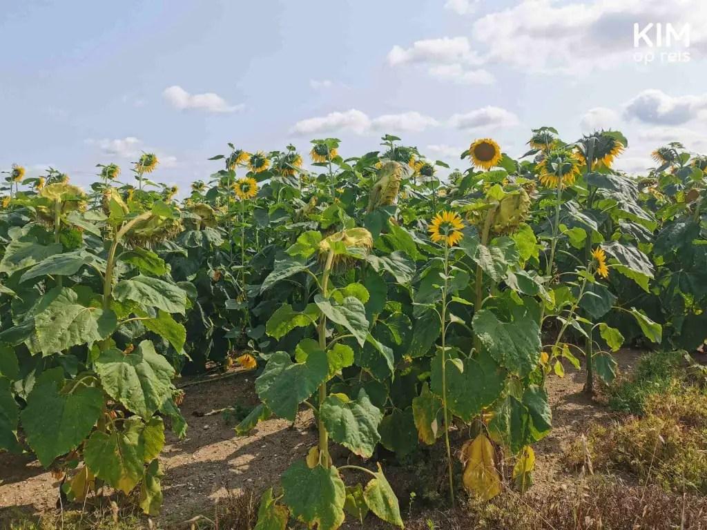 Zonnebloemen Champagnestreek: veld zonnebloemen langs de weg